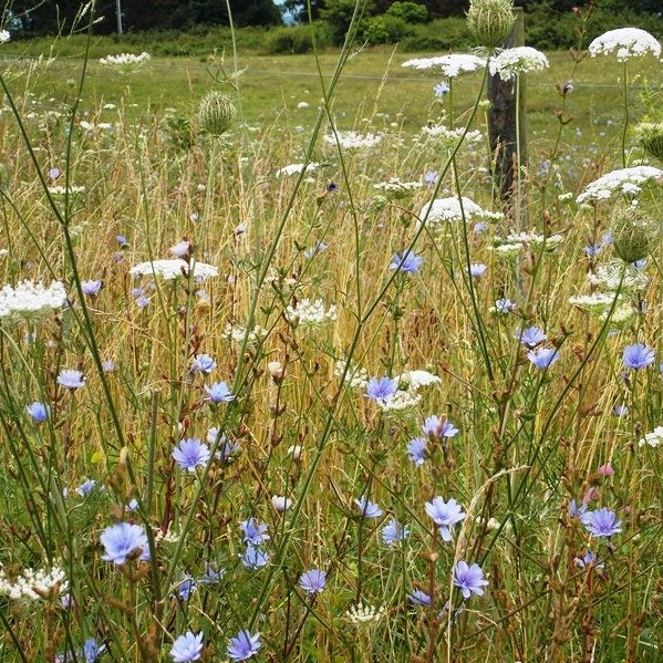 chicory and queen anne's lace (2).jpg