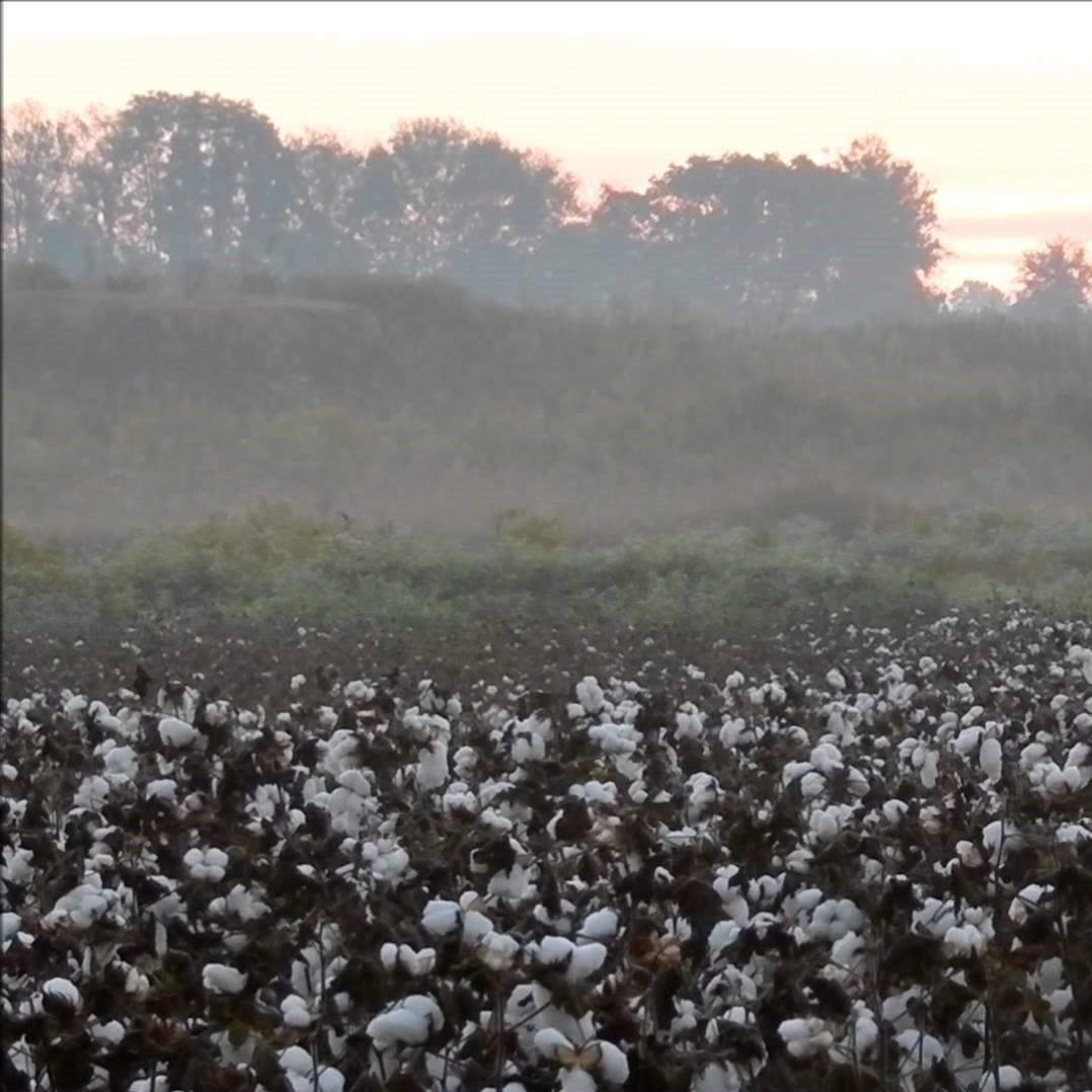 cotton field morning mist (2).jpg