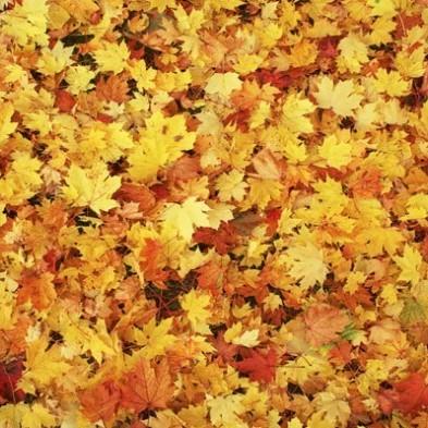 fall leaves. yellow (2).jpg