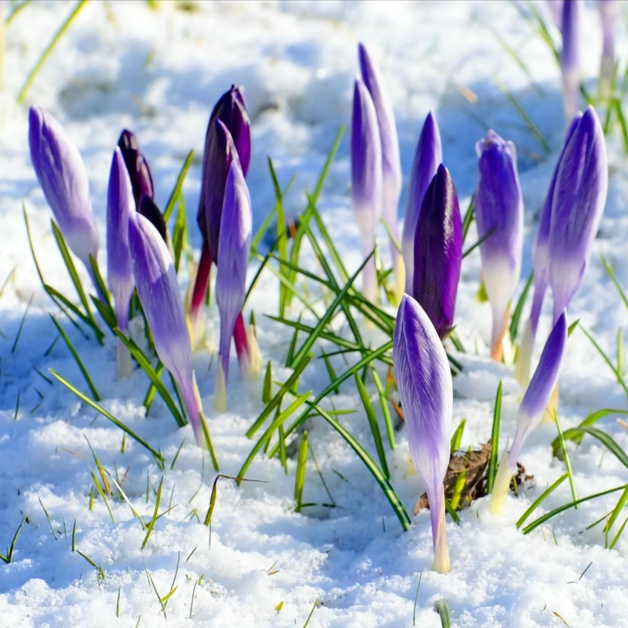 early spring crocus.jpg