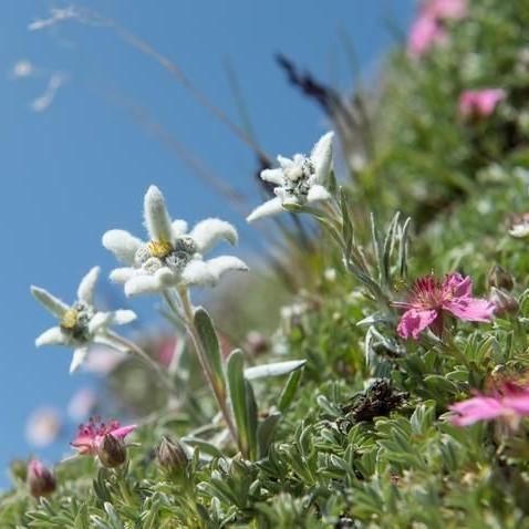 edelweiss Switzerland (2).jpg