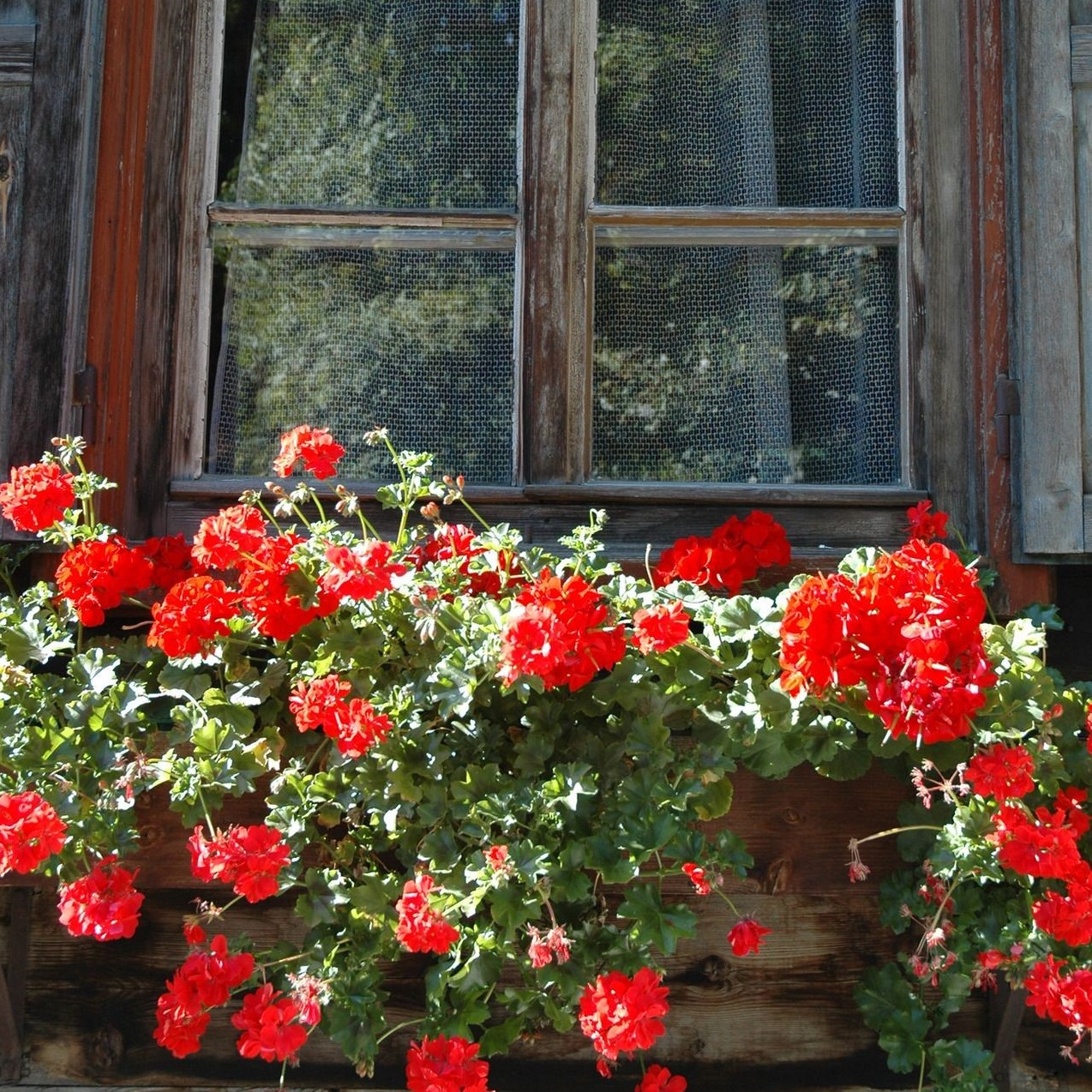 tyrol geraniums (2).jpg