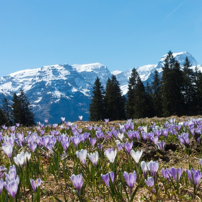 crocus. swiss alps 2 (2).jpg