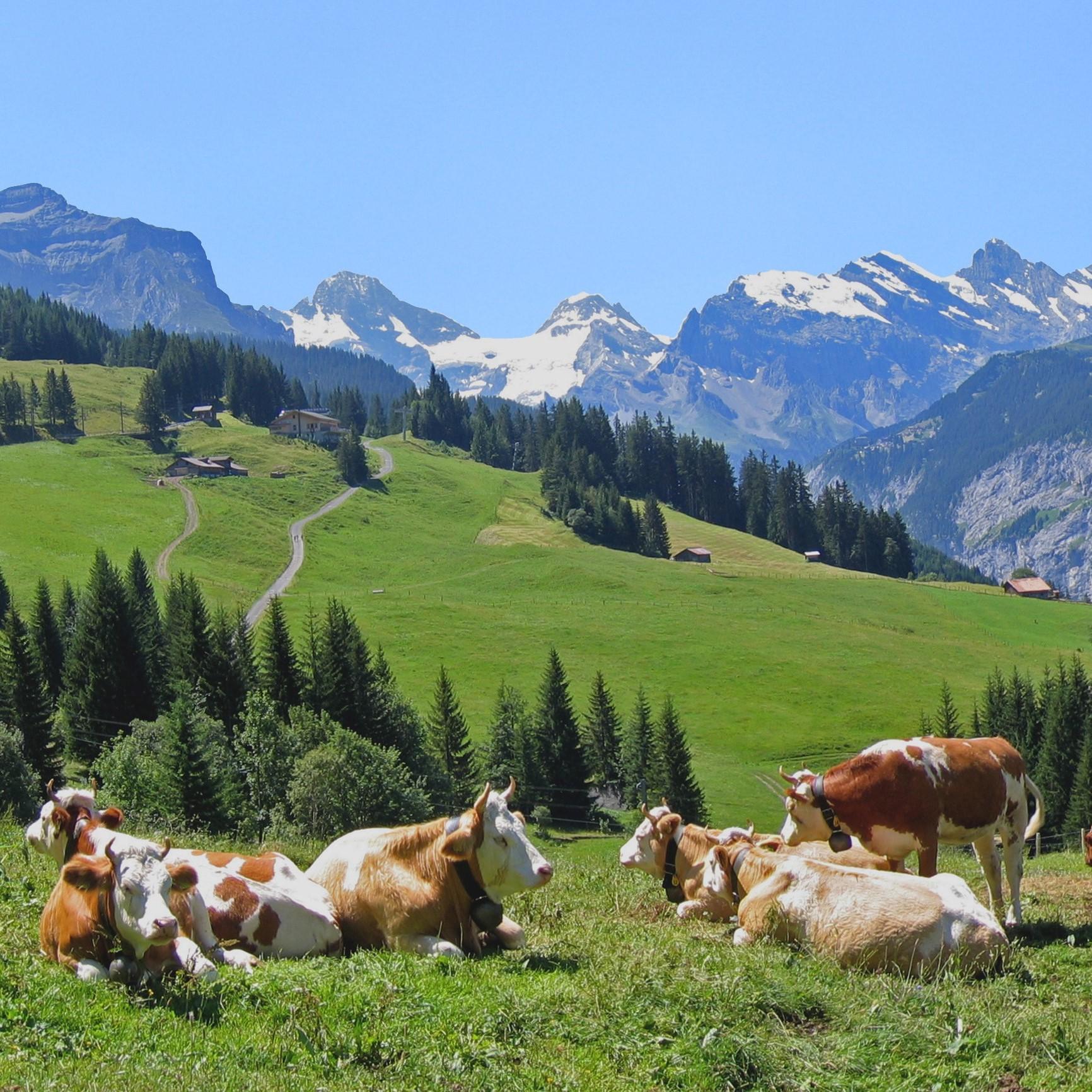 lucky cows (3).jpg