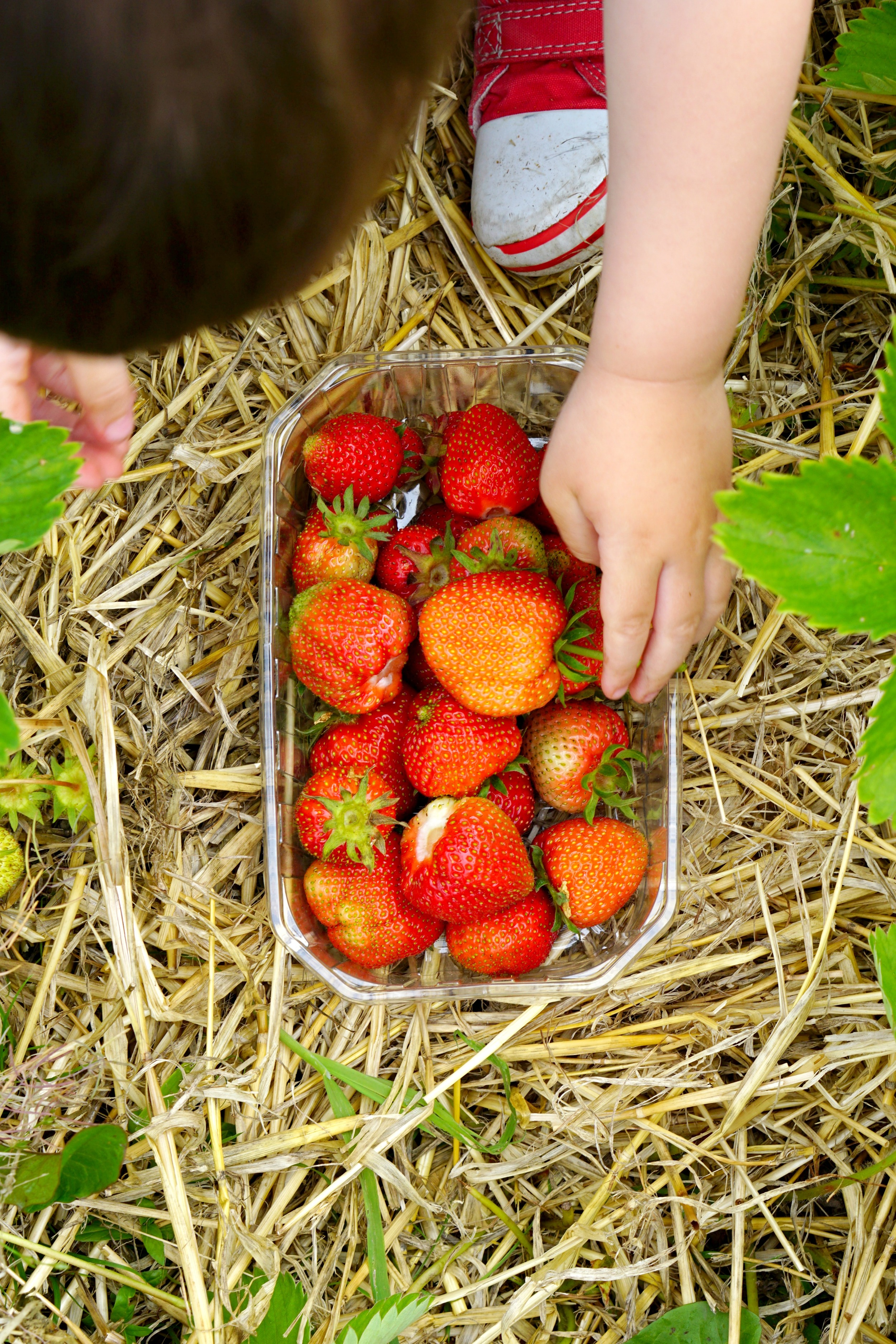 The Ordinary Lovely: Strawberry picking at Hawarden Farm Estate in North Wales