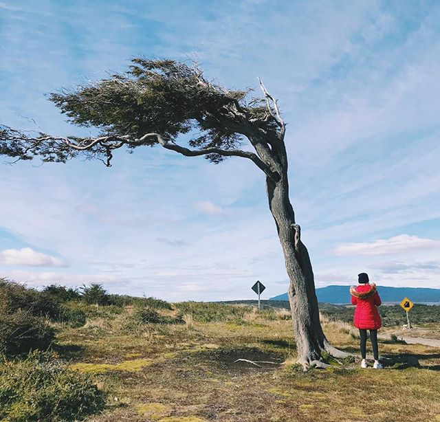 A cool tree, a scenic city and a park at the end of the world. #patagonia #ushuaia #tierradelfuego
