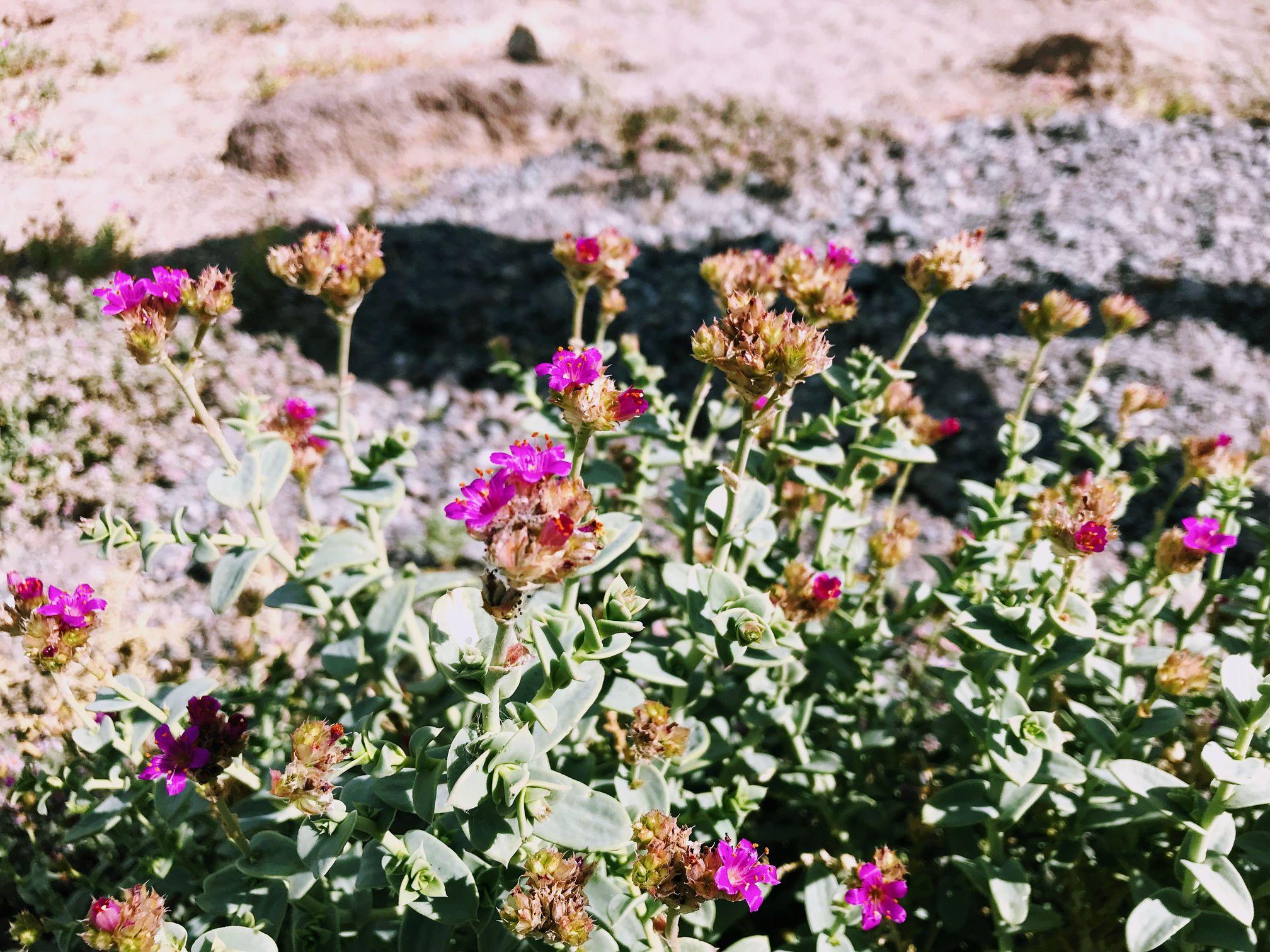 Flowers in Atacama Desert, Chile