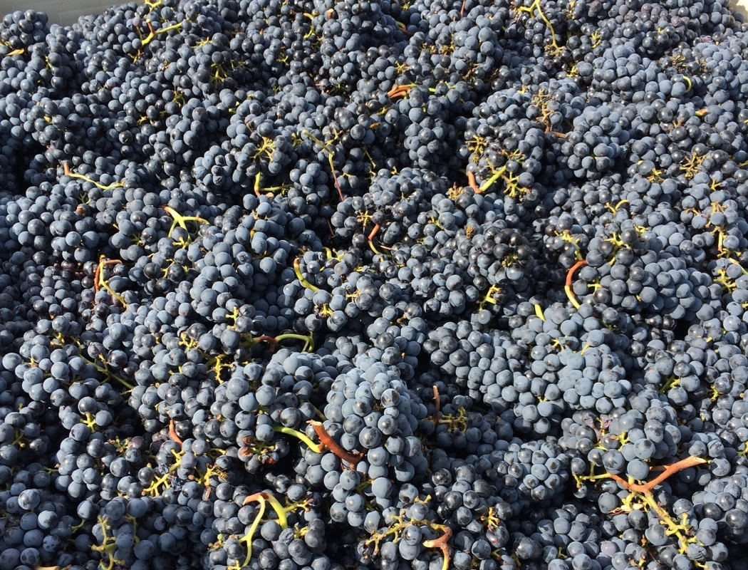 Valdiguié grapes harvested 9/19 from Rancho Chimiles.