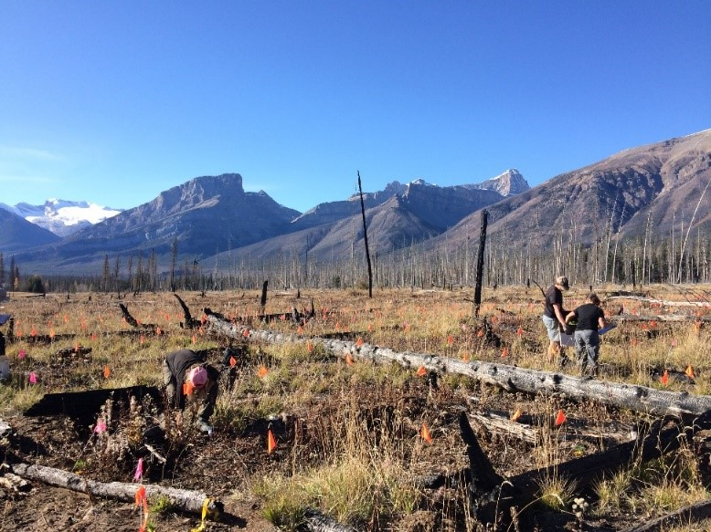 Planting trees in Alberta Canada as an international collaboration to study limber pine genetic by environmental effects.