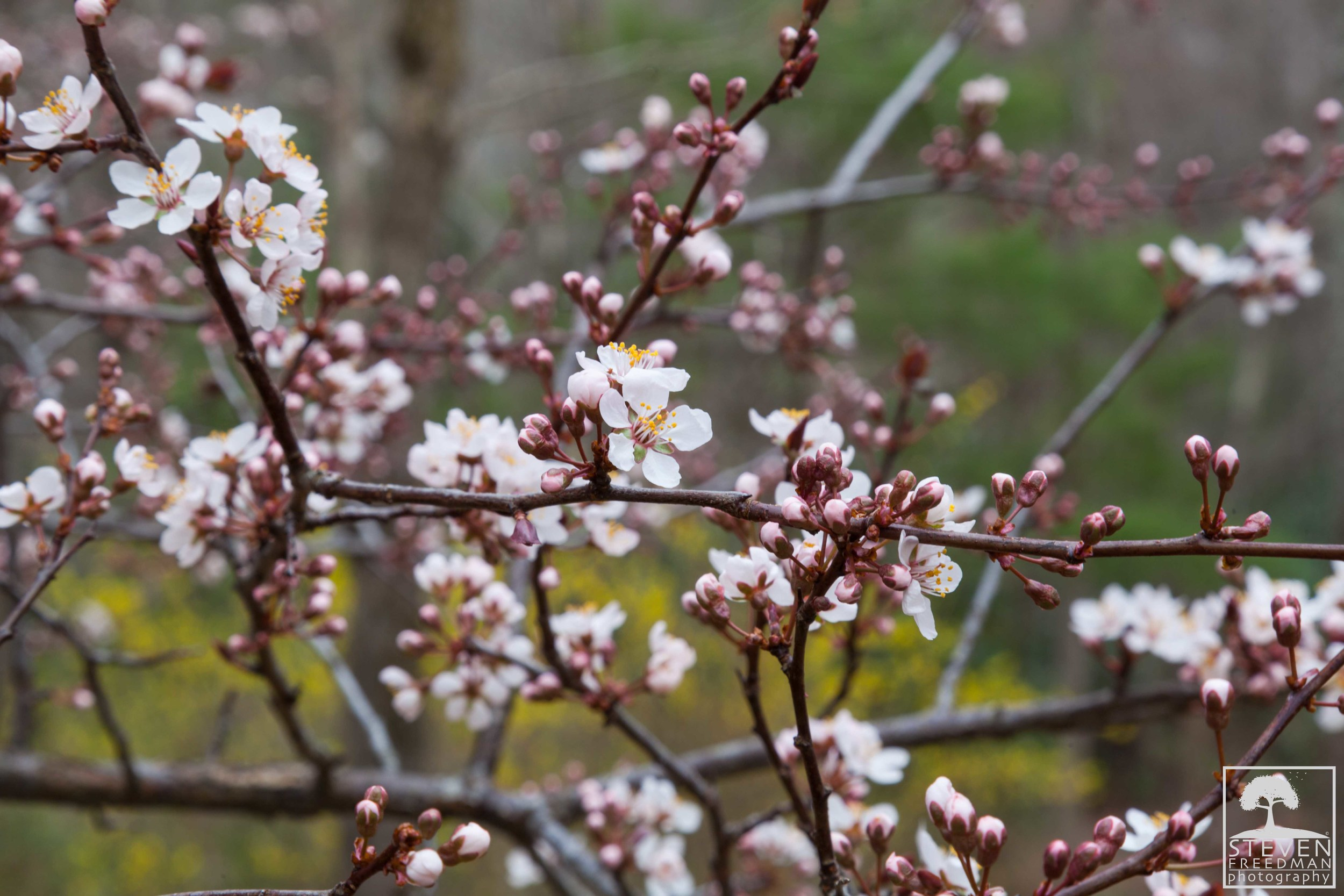 Cherry Tree... another flower with an incredible aroma