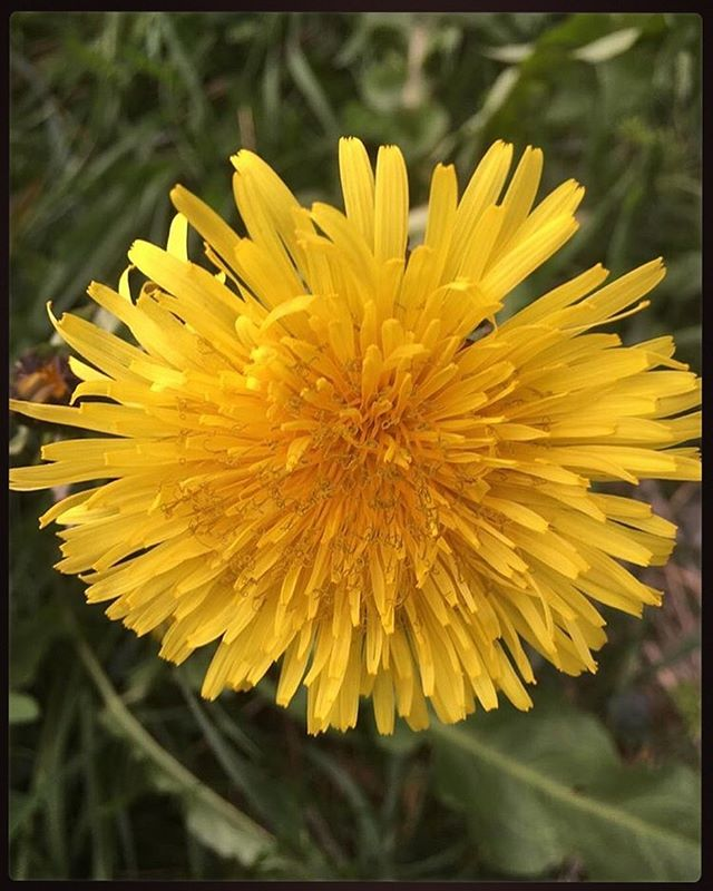 Can we take a moment to shout out this amazing, powerhouse plant? 🌿Taraxacum officinale has been used for centuries, across countless cultures and countries, to treat a myriad of physical ailments. Disorders of the digestive track, liver, skin disorders, even cancer are among the laundry list of things this badass plant attacks. Dandelion leaves pack a potent servings of Vitamins A, B, C, E, and K, while also providing a substantial amount of minerals, including iron, calcium, magnesium and potassium. 🌿 Its high levels of beta-carotene provides strong protection against cellular damage. The root, which can be ground into a tea, has been said to reduce blood pressure, increase the levels of healthy bacterial flora in the gut, and can ease inflammation. 🌿 This miracle plant can be found in the apothecaries of Native American tribes, Chinese acupuncturists, Romani travellers, and still has a place in modern medicine. It's also renowned for its healing properties in spellwork and traditional hoodoo, stregoneria, and folk magic. 🌿 It also happens to hold high street cred here in our tea house. 😏 However you choose to work with this Queen, may it offer you the same healing light and meticulous recovery it has brought to our Tea Witch Cafe family. Love, light, and tea, y'all. #RitualWithintheCup