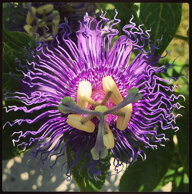 Where the Wild Things Are...🌺 This stunning beauty is one that doesn't mind the end of summer heat here in #NewOrleans. #Passionflower can't get enough of the sun-and while some of us swelter over a late-summer heat advisory, Passionflower is flaunting its gorgeousness in yards across the Garden District. 🌺 This plant is your ally when it comes to sleep and anxiety disorders. It's a mild sedative and can also be used to quell depression. Magically, it's summoned in spells for passion, desire, and lust. 🌺 It can be brewed into a tea to easily achieve all its properties at once, and we've got you covered! This eye-catcher is featured in our Bitter Passion Scorned brew, just waiting for you to invoke its powers with your next #RitualWithintheCup! 🌺 We're open from noon-6:00 today @teawitchcafe and always at teawitchtea.com. Happy Saturday, y'all!