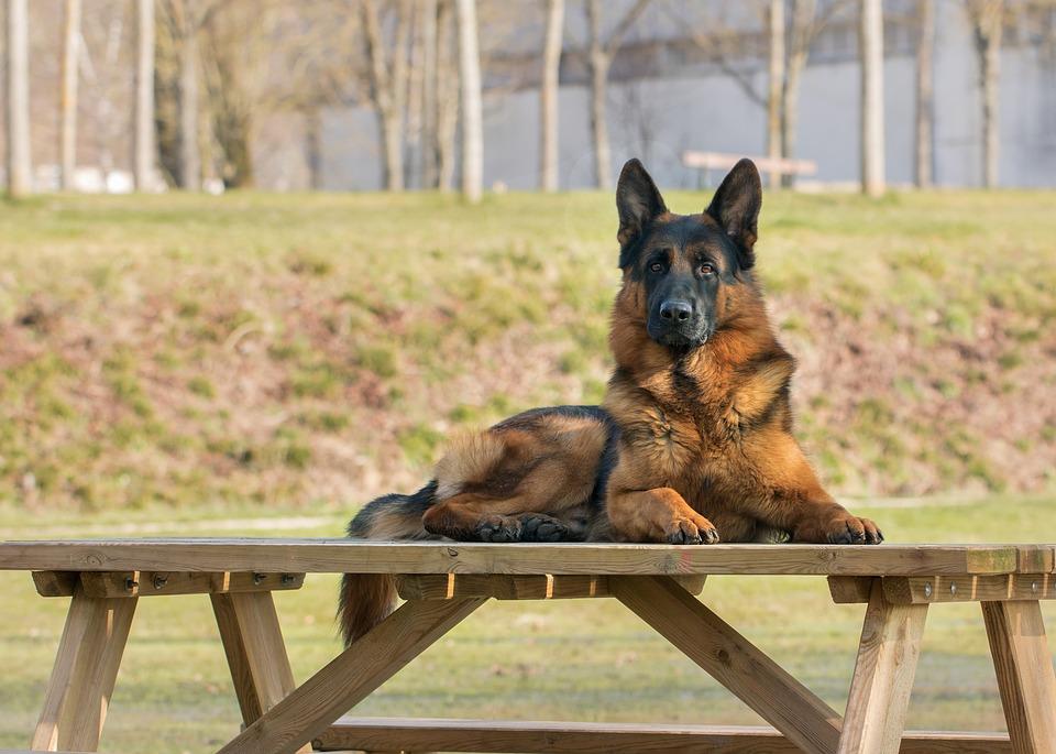 Are service animals pets?.jpg