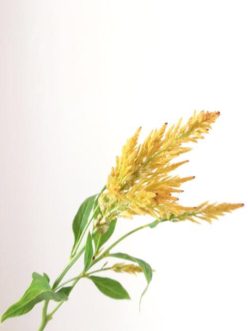 Feather Celosia