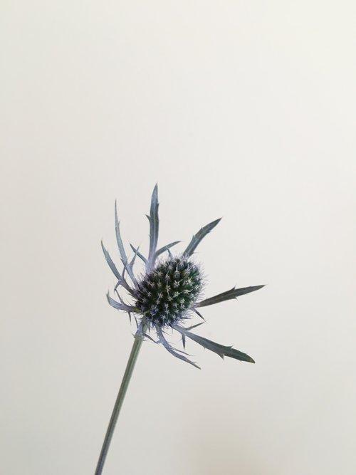 Eryngium (Thistle)