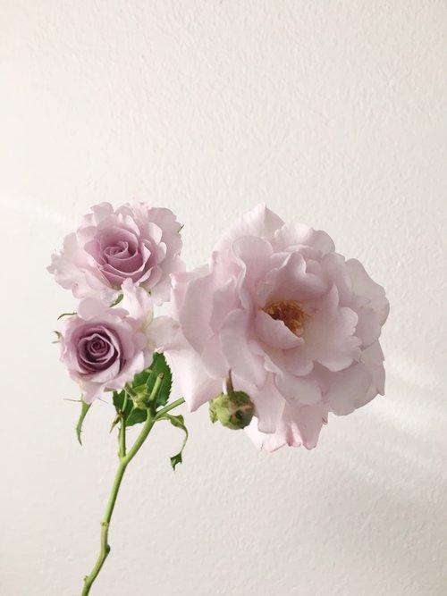 Eloquence Spray Rose
