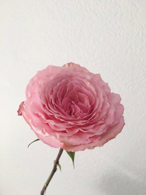 O'Hara Garden Rose