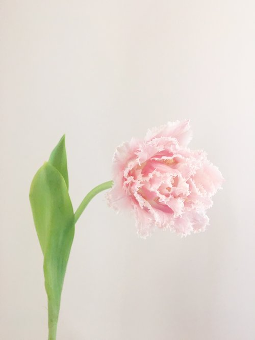 Frilled Tulip