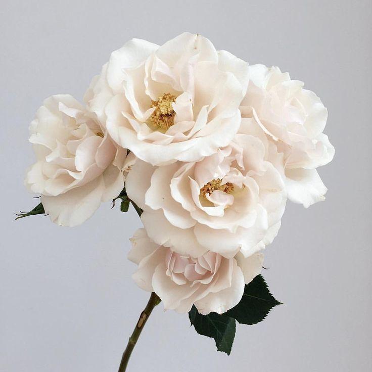 Majolika Spray Rose