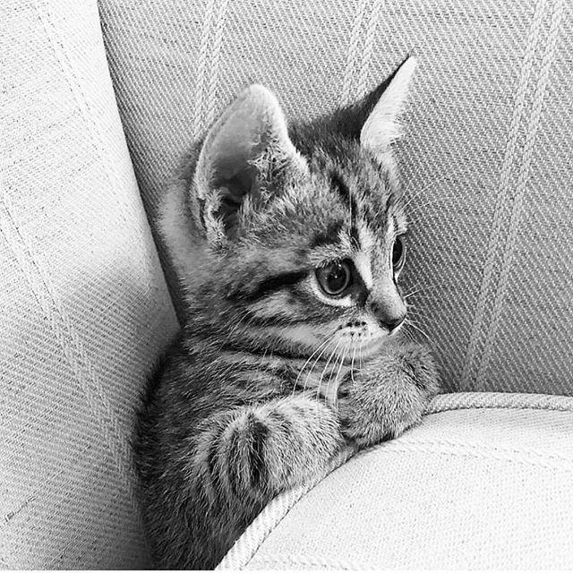 Beautiful little Ollie. Staying up late to watch just one more Netflix episode.  #cat #cats #catsofinstagram #kitten #kittens #kittensofinstagram #crazycatlady #crazycatladyproblems #ilovemycat #gato #pusica #cute #neko #highschoolteachers #booksandcats #catsandbooks #middleschool #middleschoolteachers #catlover #ilovemykitten #newkitten #highschool #cutie #lovekittens #happy