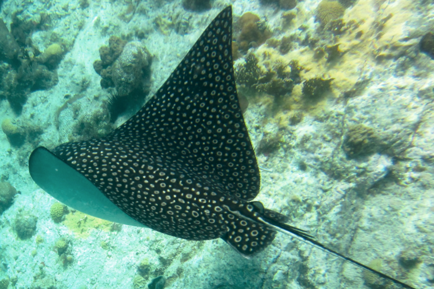 A SPOTTED EAGLE RAY TAKES A SWIM