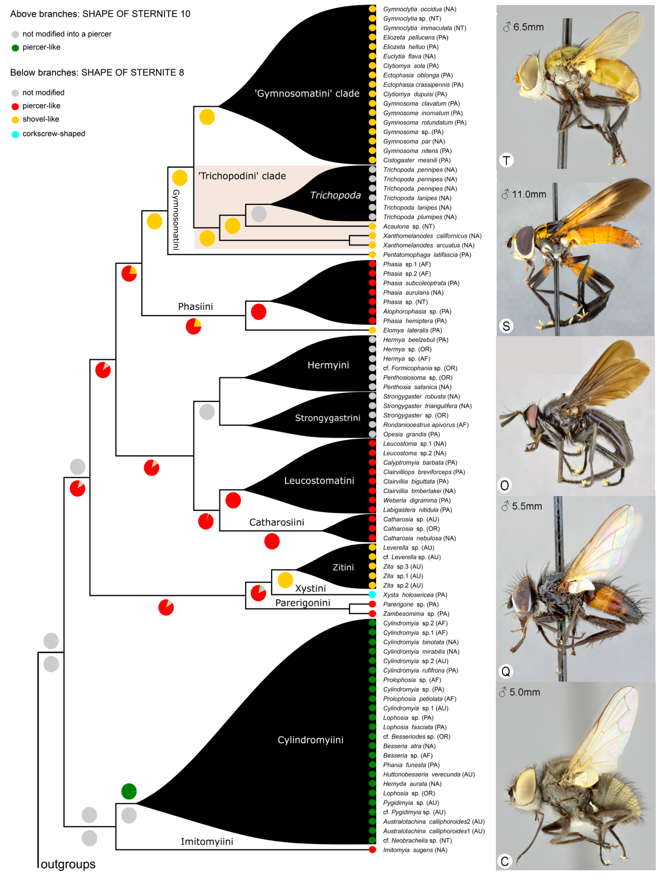 Evolution of phasiine piercers used to inject eggs into stink bug hosts. From Blaschke et al. (2018).