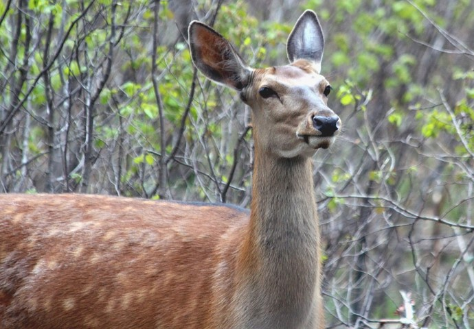 spotted axis deer