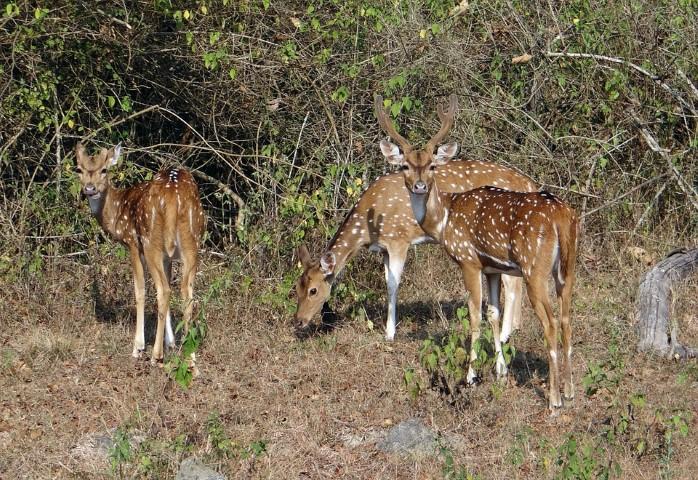 several axis deer