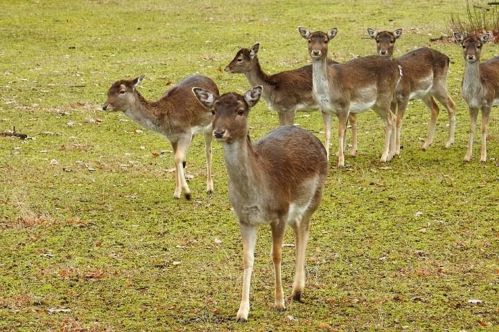 several fallow deer