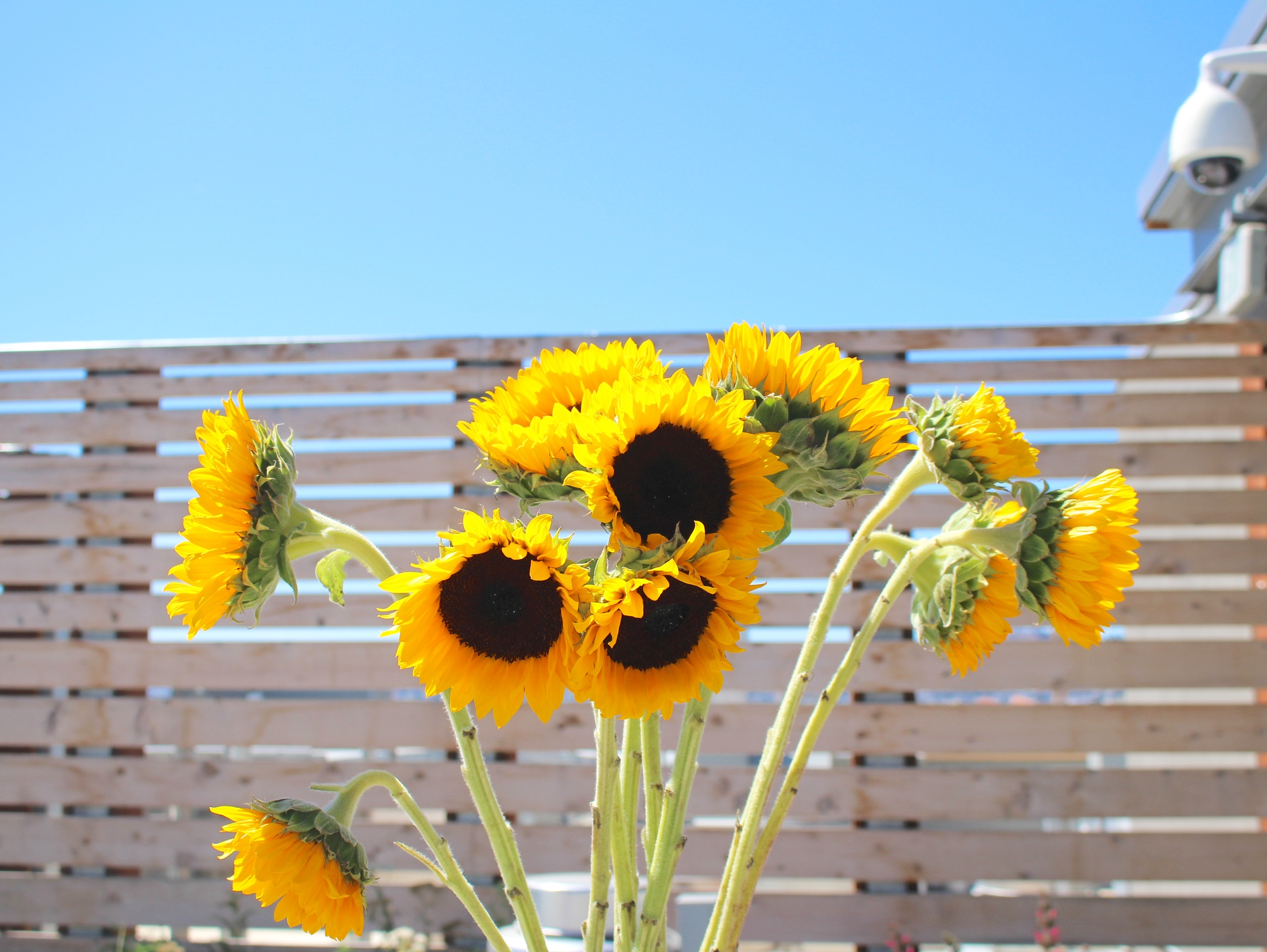 Always in the mood for sunflowers.