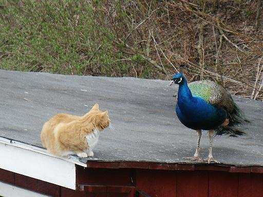 Charles the cat and George the peacock discussing the stock market.