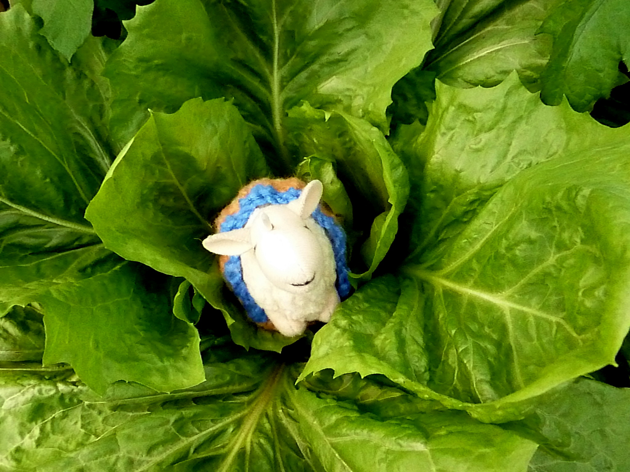 Rutherford likes to eat lettuce, and he found some very large heads of it at the Sielings'.