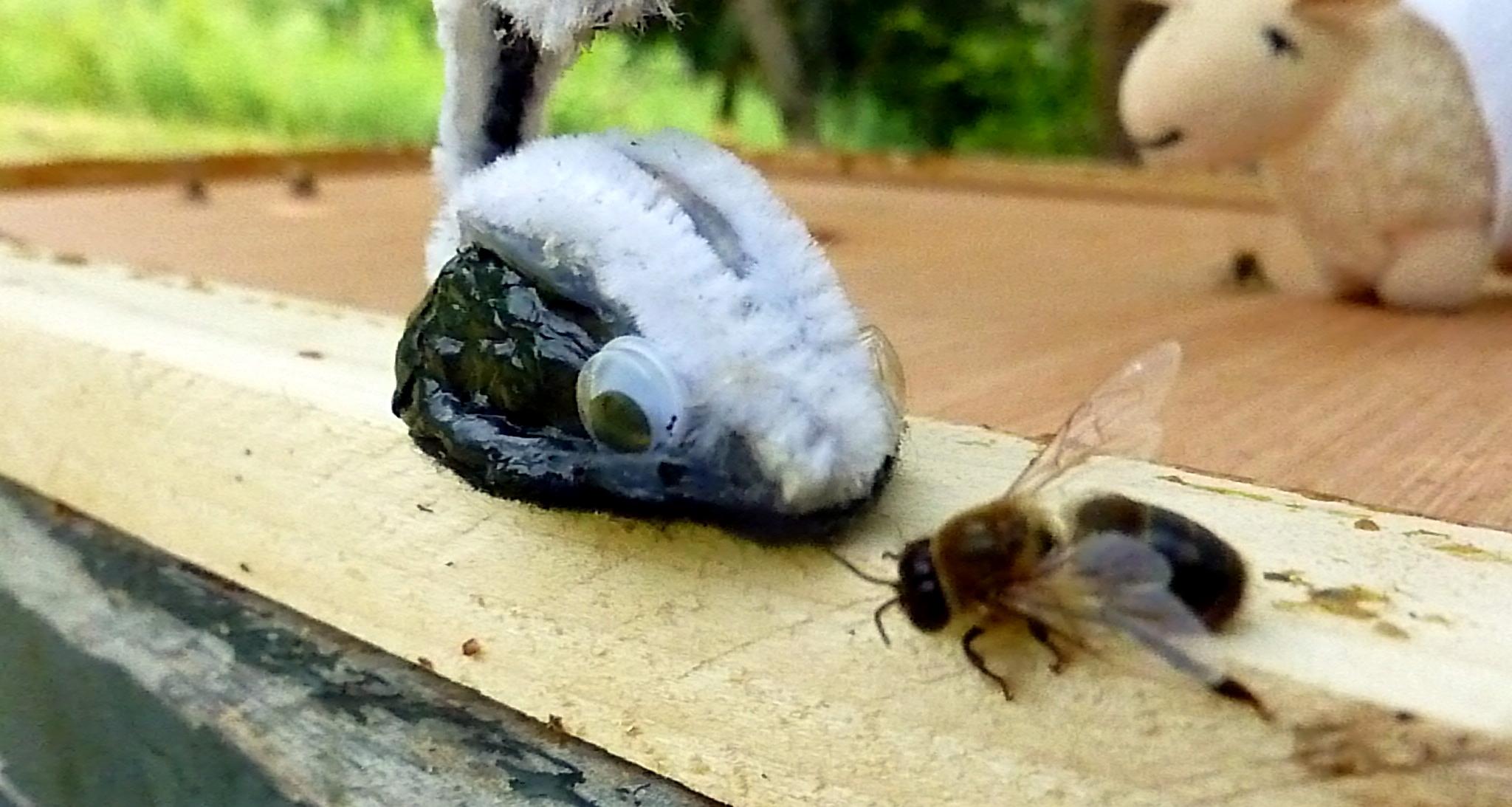 wilfred-the-walnut-skunk-eats-a-bee