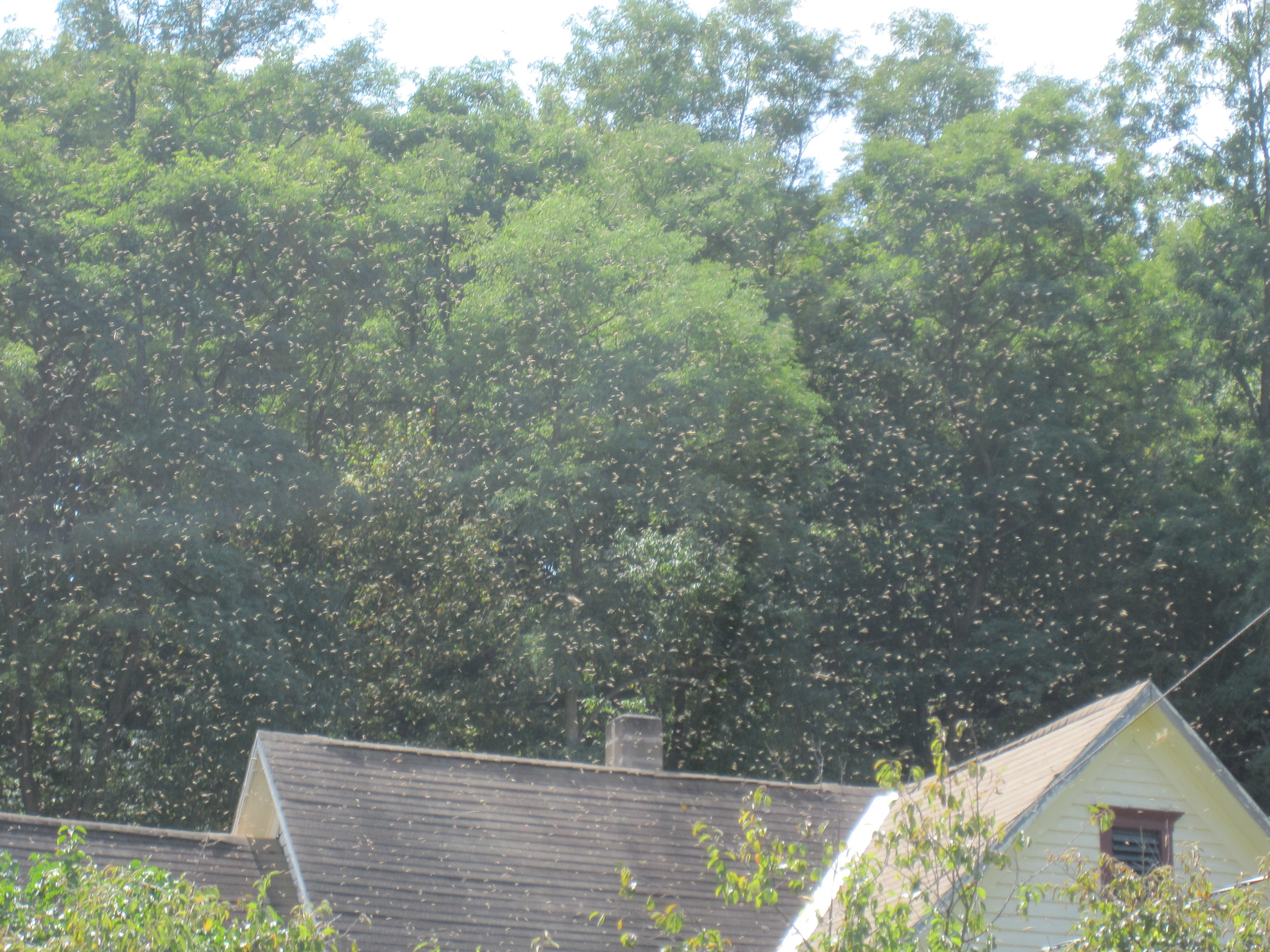 In this picture, a massive swarm descended on the front yard of my parents' house and settled in the plum trees. It was 9 pounds of bees.