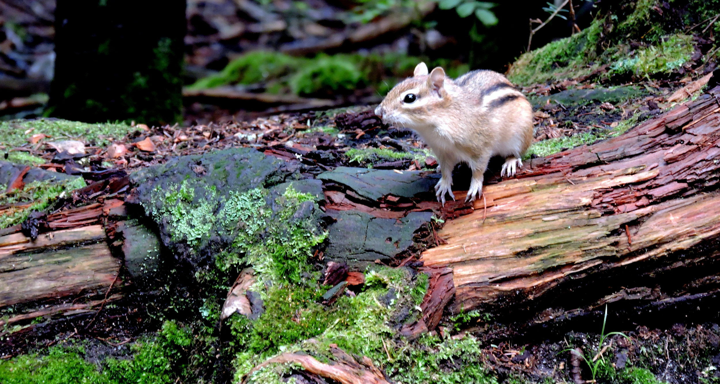 Classed as mammals in the Scuiridae family, chipmunks keep their food in very organized burrows in the ground.