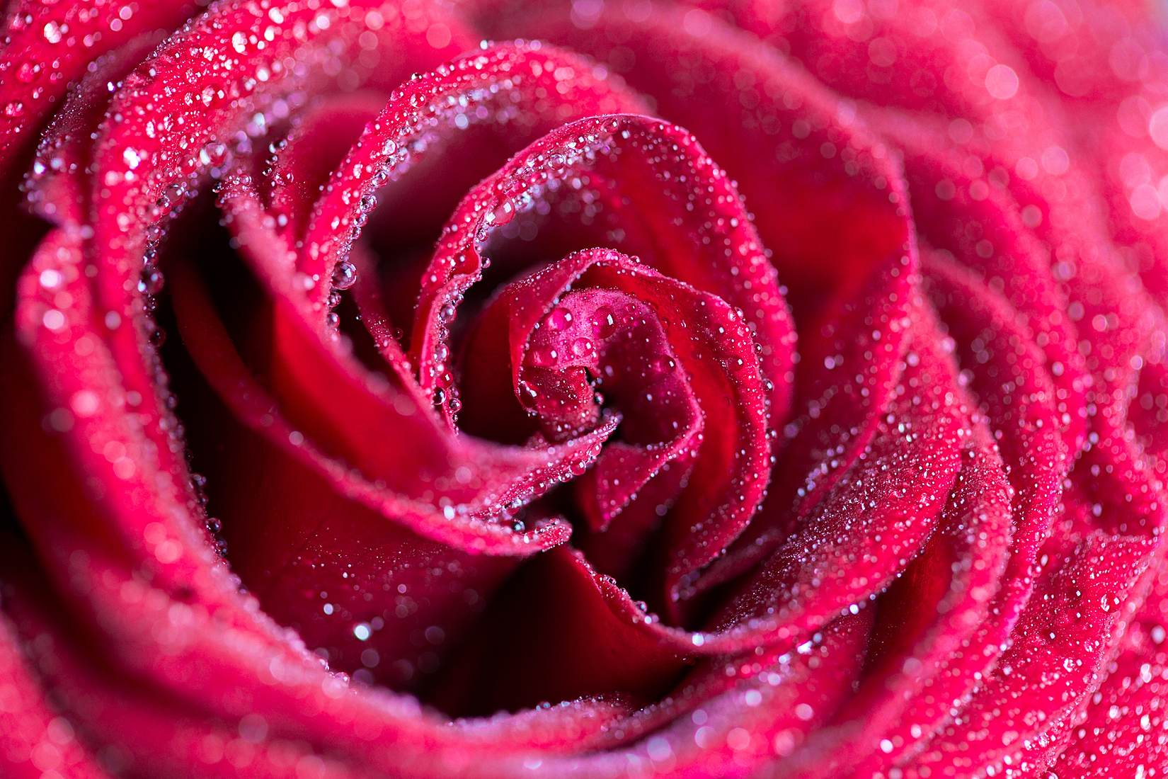 plant-flower-red-rose-water-drops.jpg