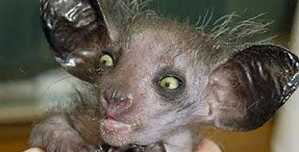 Picture of an aye-aye, with big ugly eyes, weird scraggly fur, and sort of leathery ears.  Image source.