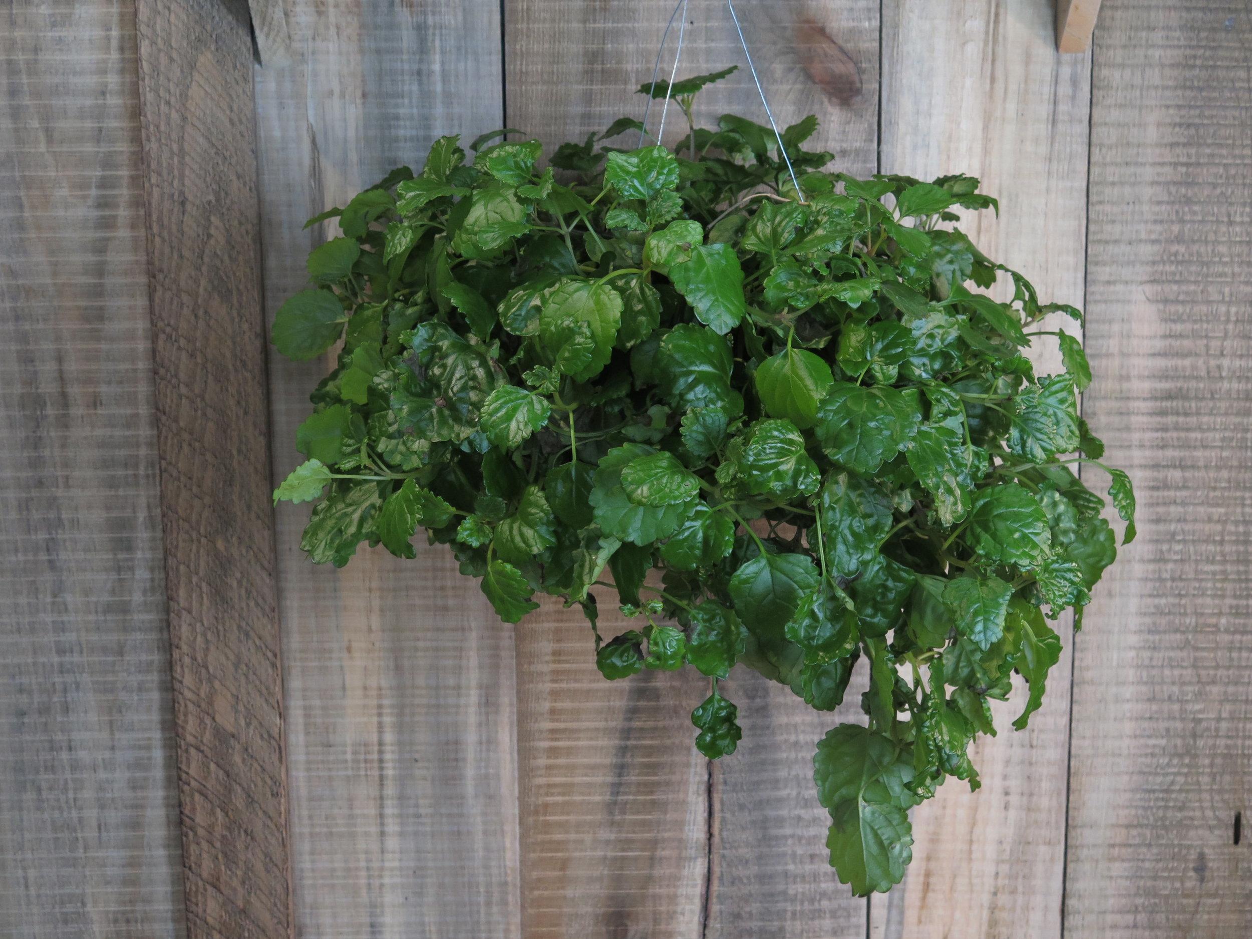 Swedish Ivy -Plectranthus verticillatus