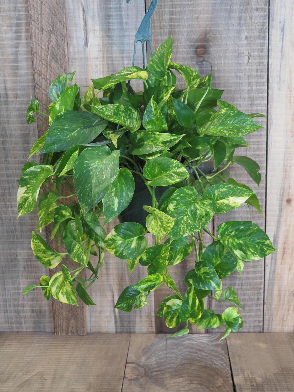 Pothos, variegated