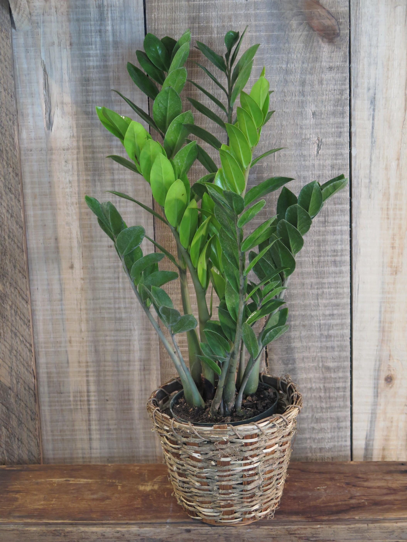 ZZ Plant - Zamioculcas