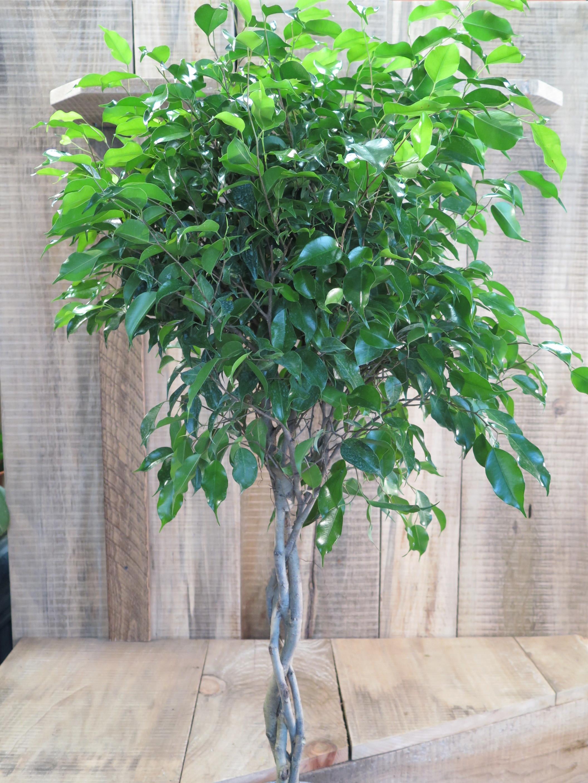 Ficus, braided