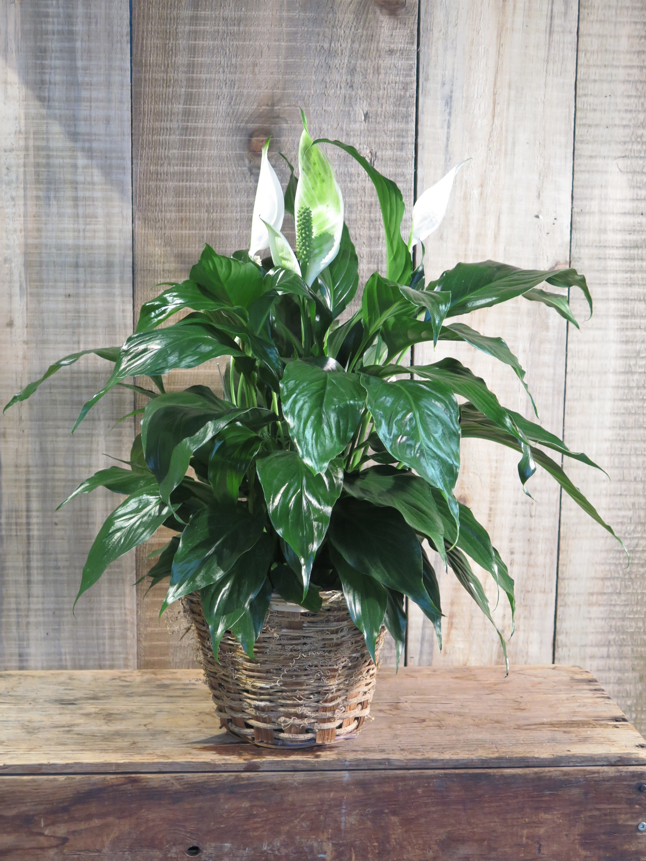 Peace Lily -Spathiphyllum