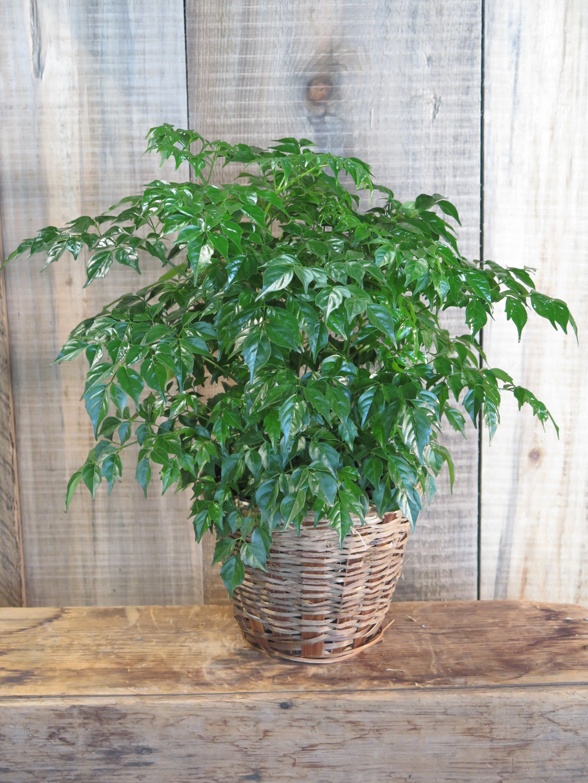 China Doll Plant - Radermachera sinica