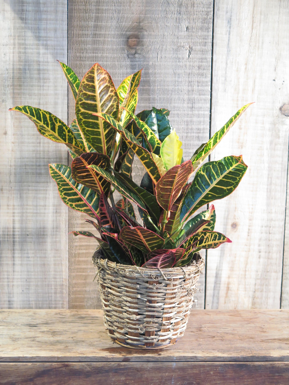 Croton - Euphorbiaceae
