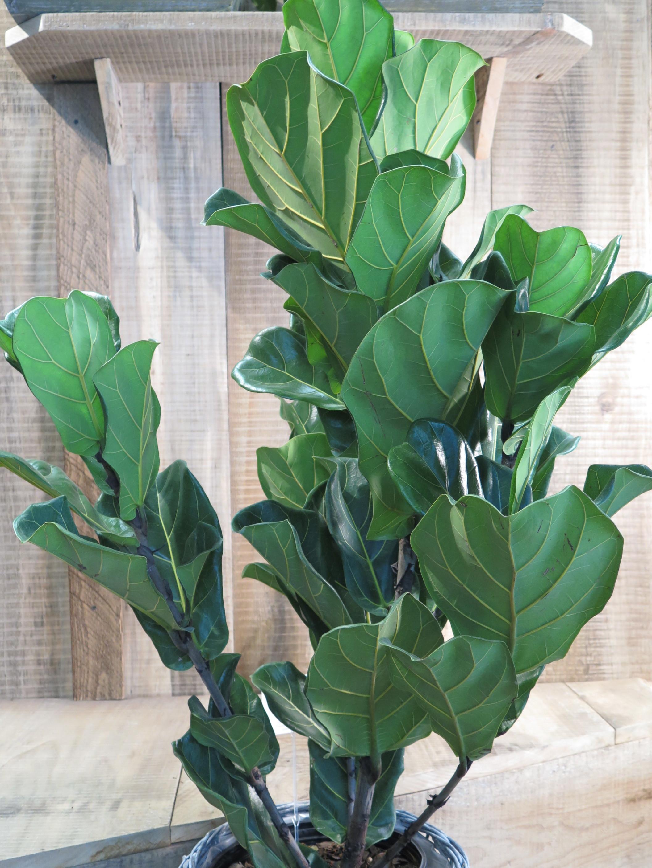 Fiddle leaf fig -Philodendron bipennifolium