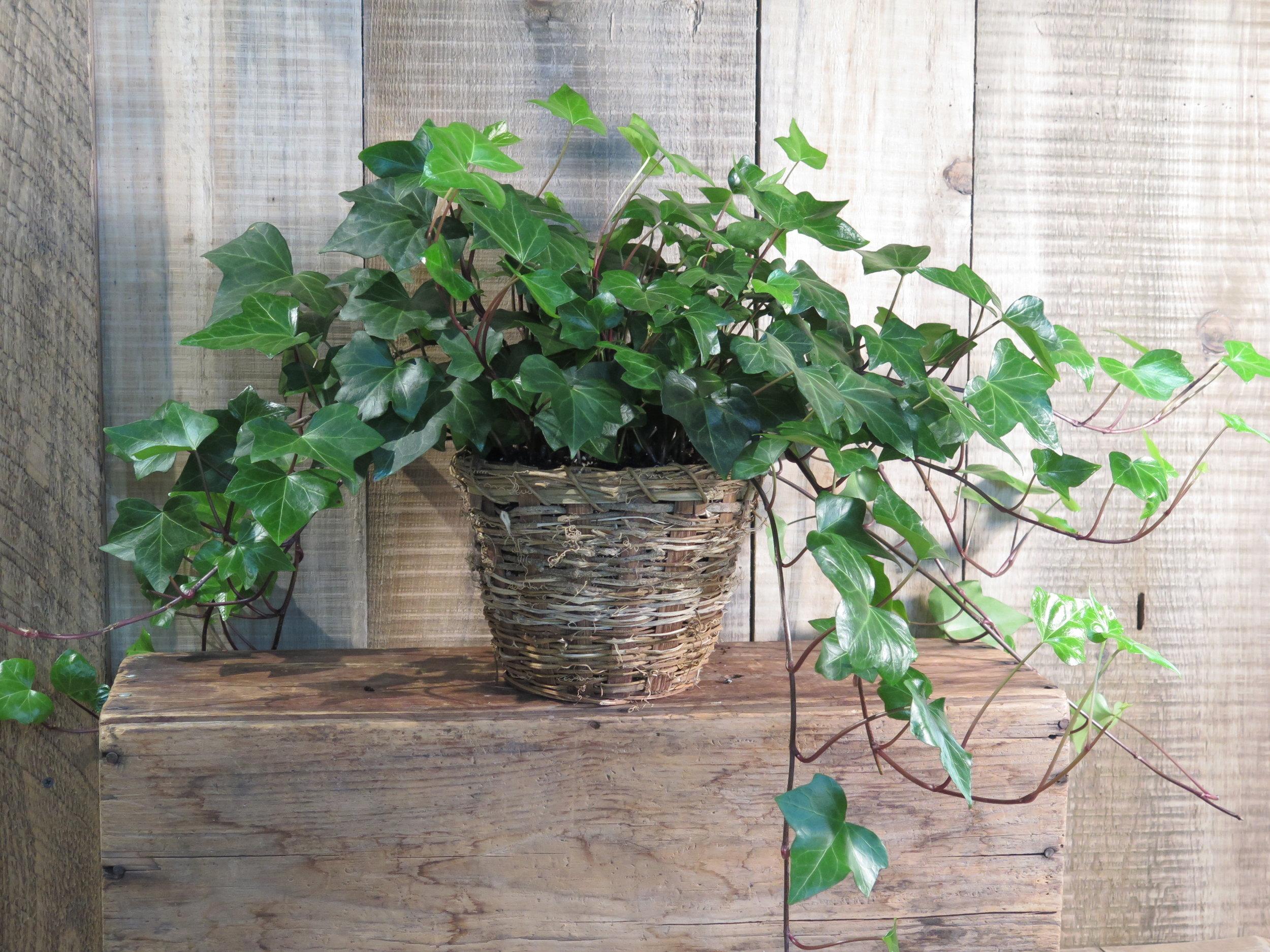 Algerian Ivy - Hedera algeriensis