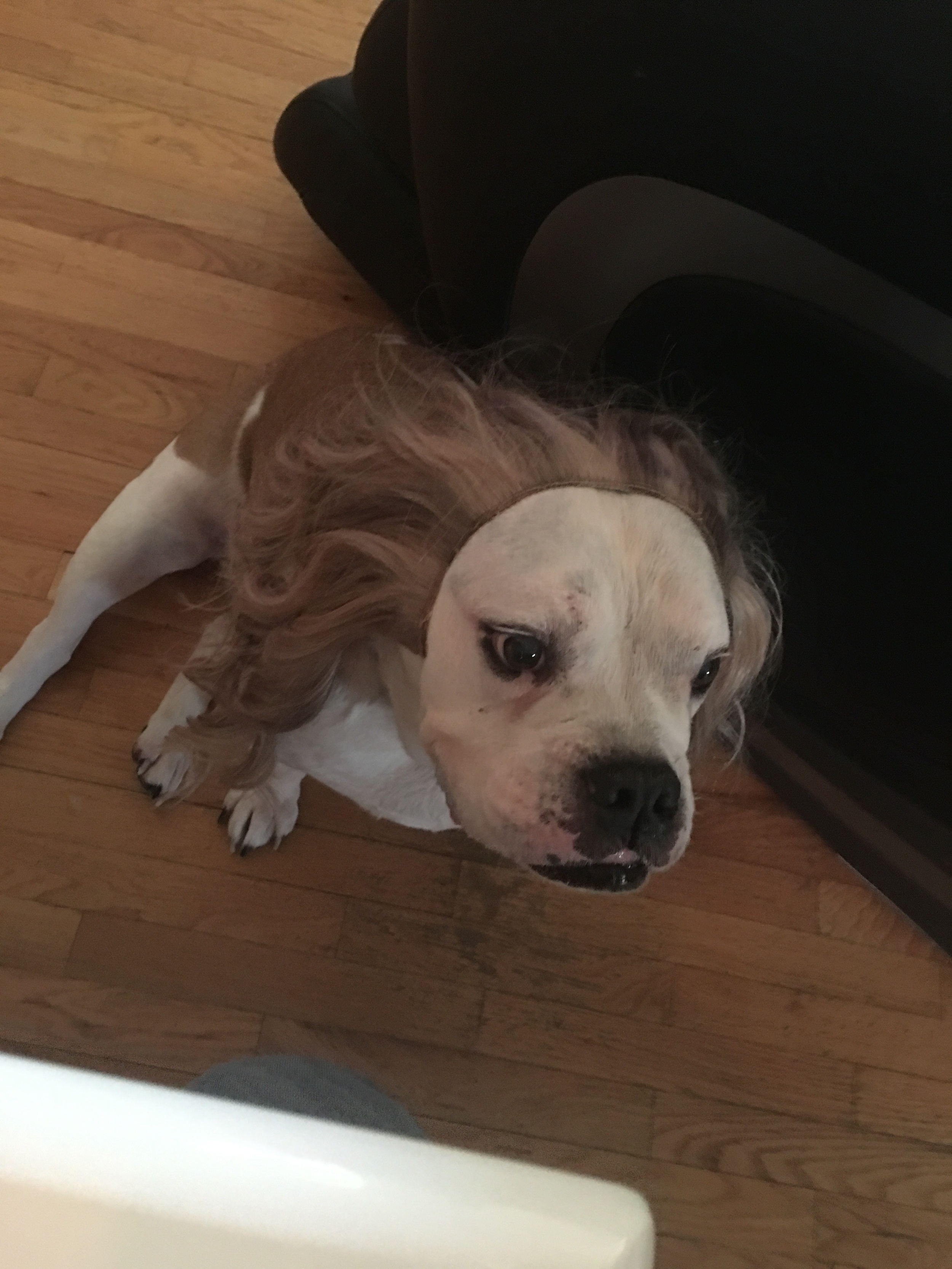 This is Bentley! Old English Bulldog who loves his HaloCouture Extensions!!