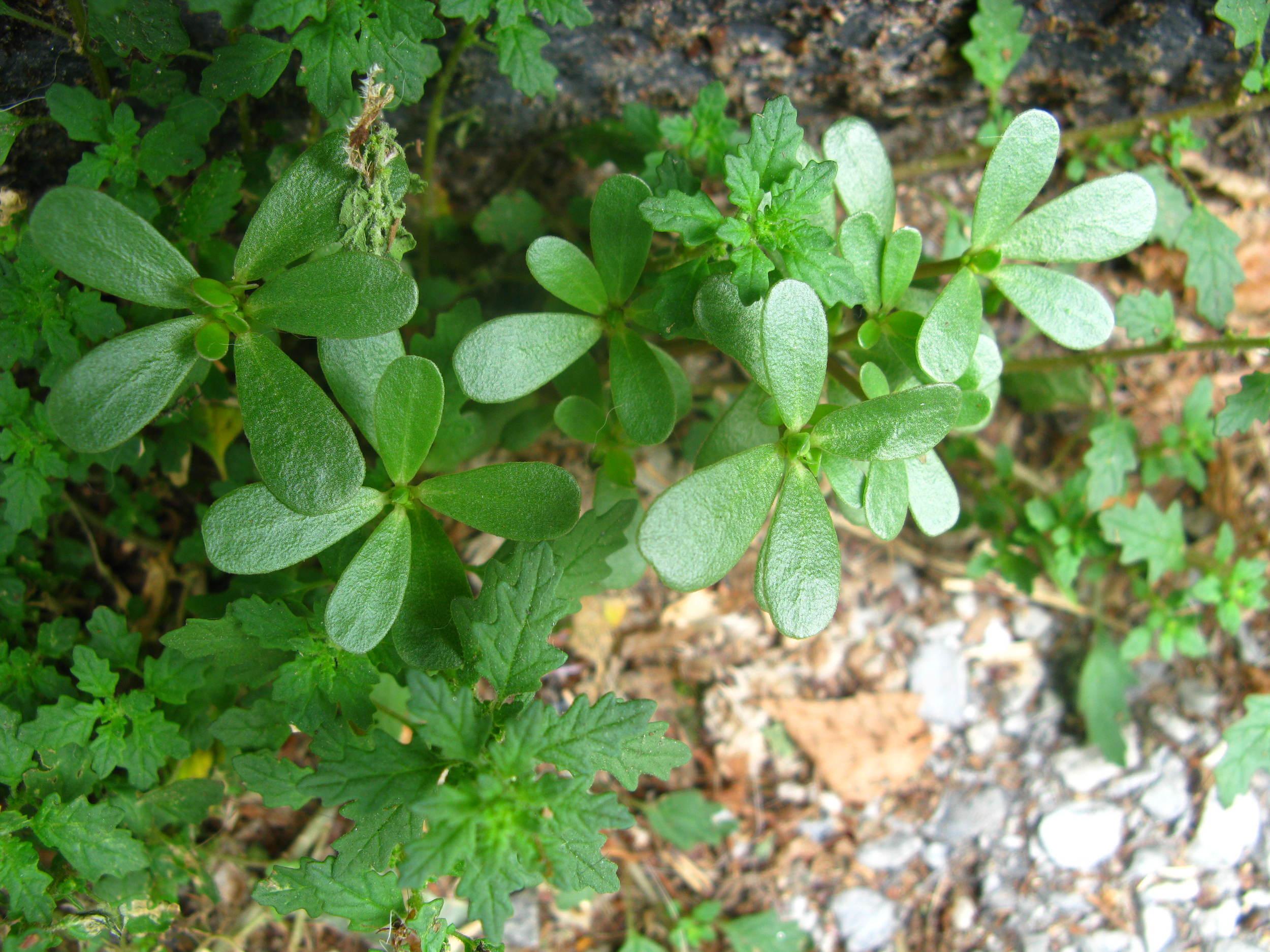 Portulaca oleracea Portulacaceae