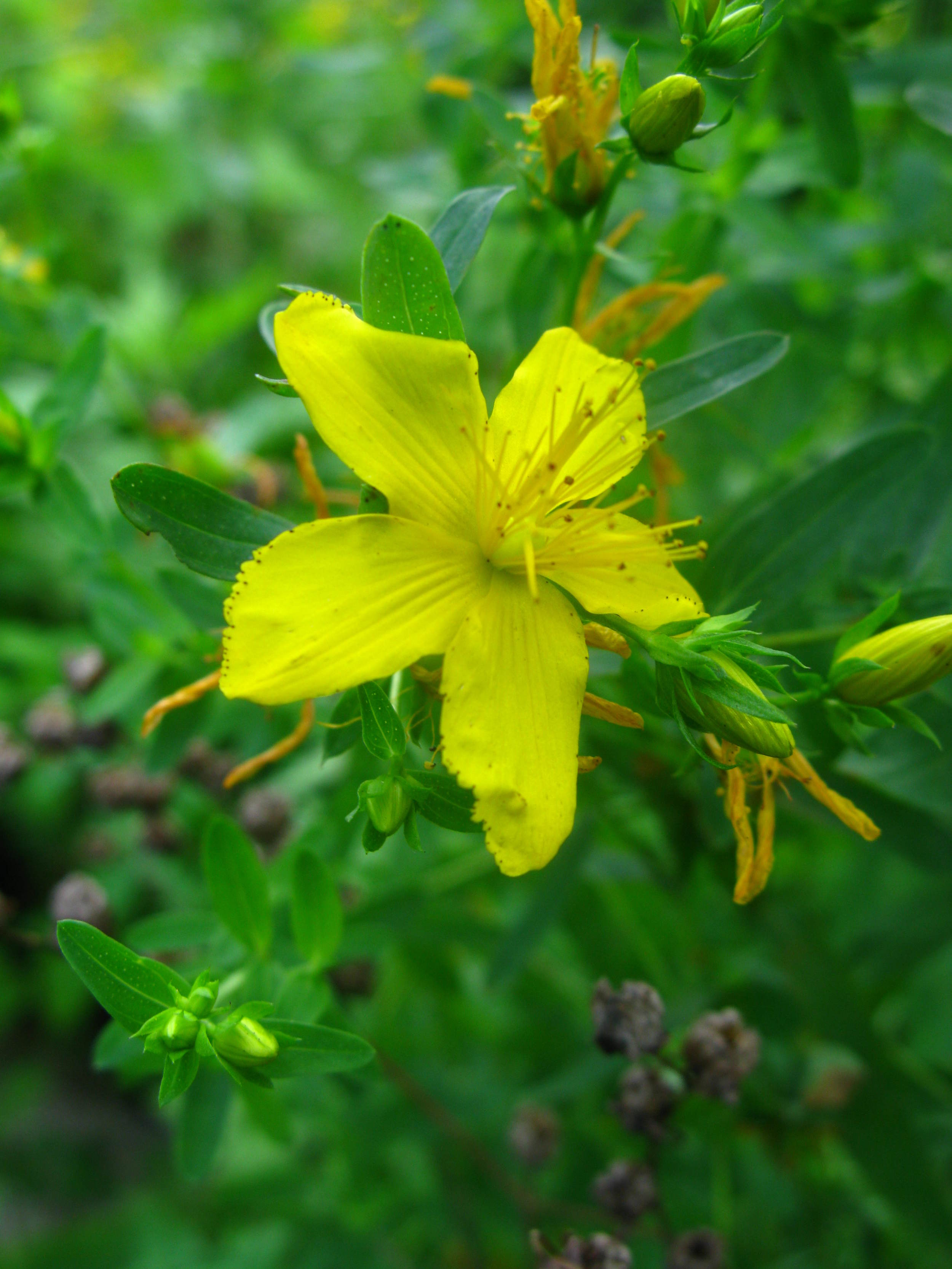 Hypericum perforatum Hypericaceae