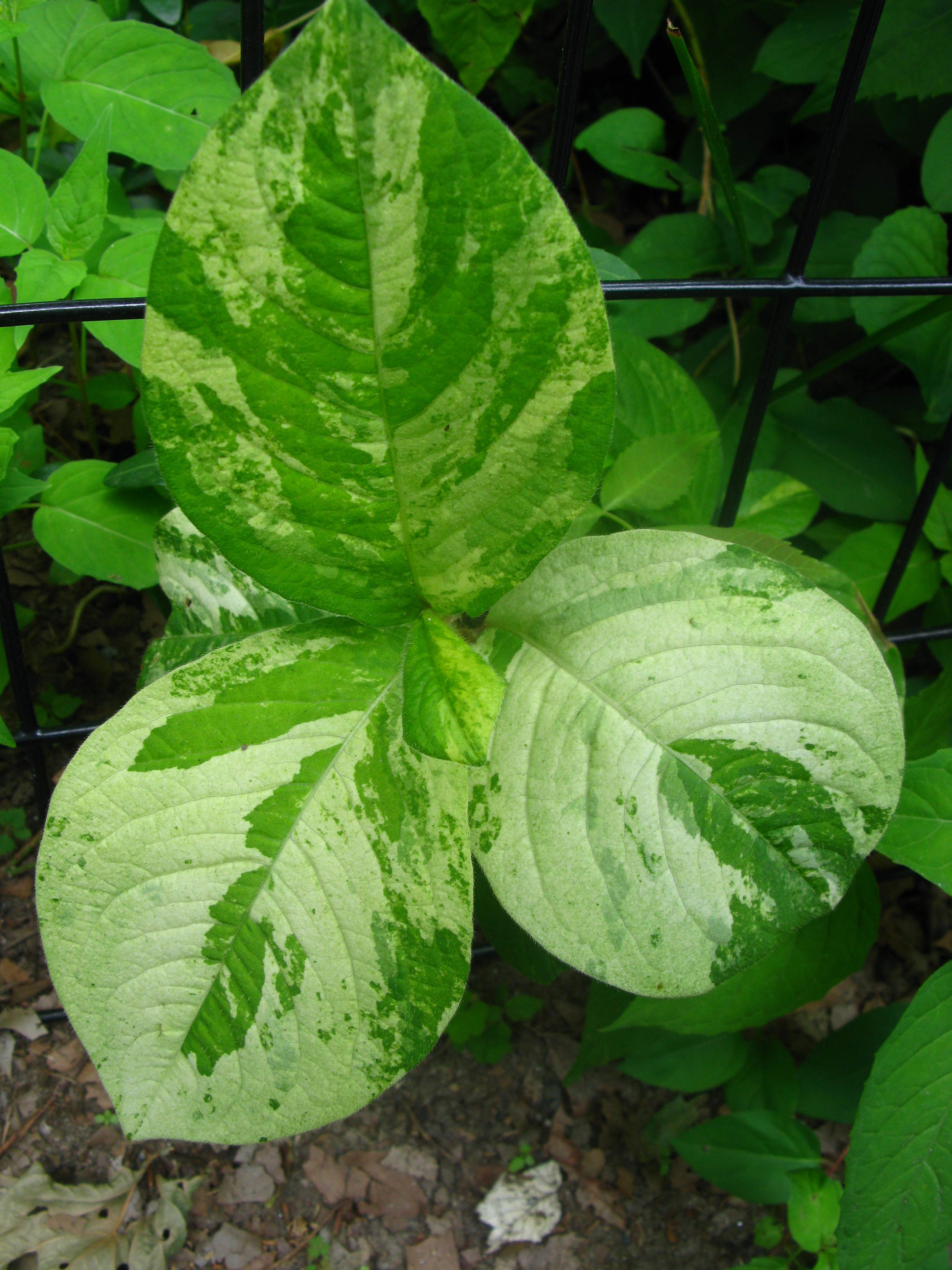 Persicaria filiformis Portulacaceae